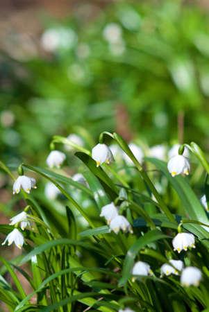 Spring Snowflakes Stock Photo - 13954173