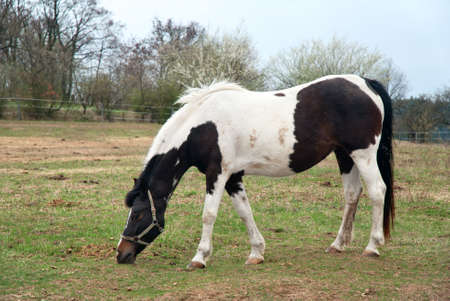 Black and White Horse on a pasture