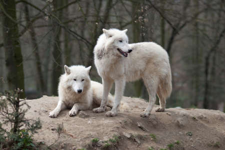 Two Arctic Wolves photo