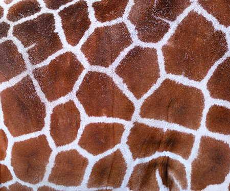 Giraffe Texture