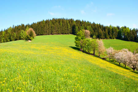 Dandelion Field in High Spring