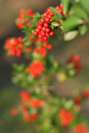 scarlet: Scarlet Firethorn