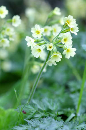 Cowslip Flower Blossom Macro photo