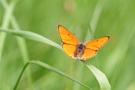 Large Copper Orange Butterfly Macro photo
