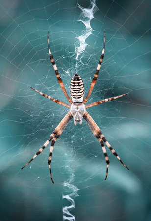 Wasp spider waiting in his silky web. photo