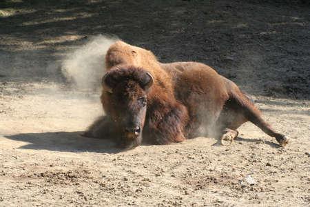 Bison Buffalo Strong Bull