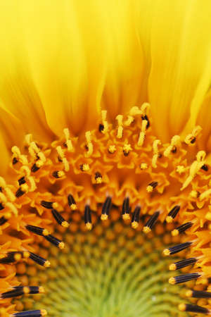 Sun flower photographed with a macro lens.