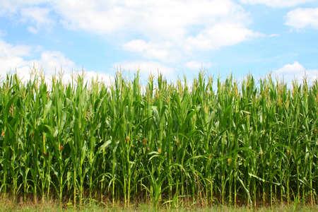 champ de mais: champ de maïs vert