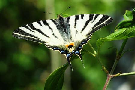scarce: Scarce Swallowtail butterfly macro Stock Photo