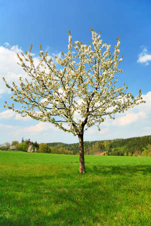 White blooming apple tree in springtime photo