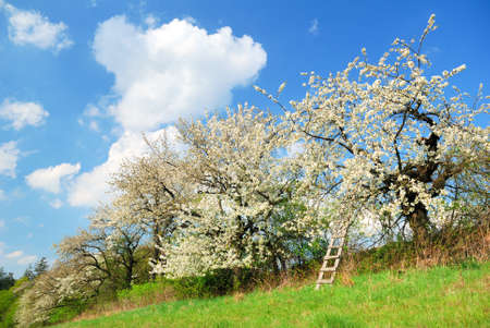 White blooming apple trees in springtime Stock Photo
