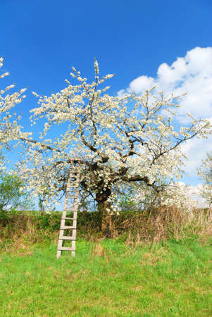 White blooming apple tree in springtime