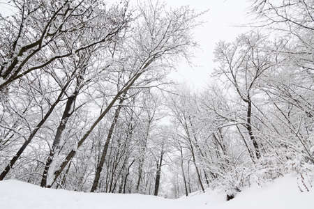 Tall trees covered in heavy snow