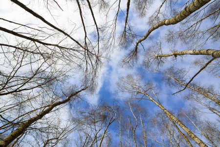 Leafless tree crowns with a cloudy blue sky photo