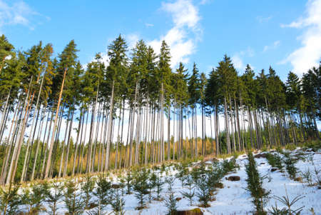 Spruce trees forest with spruce seedlings in snow