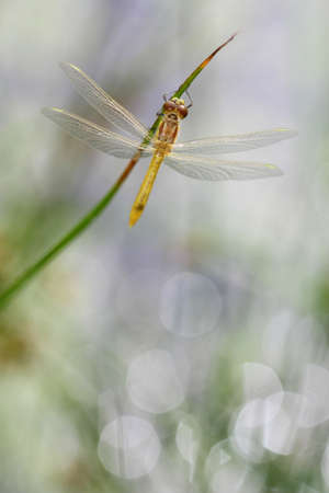 Young Spotted Darter dragonfly sitting on a plant