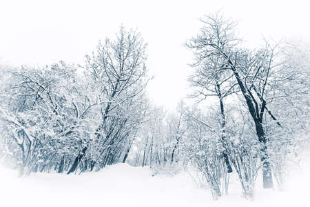 Trees and bushes under heavy snow in a blue winter tone photo