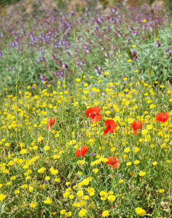 Cretan meadow flowers in bloom in springtime photo