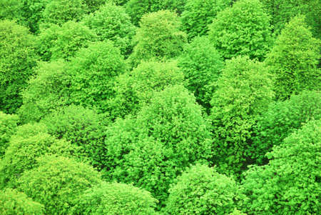 Green chestnut treetops viewed from above