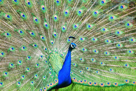 tail fan: Peacock showing off colorful feathers Stock Photo
