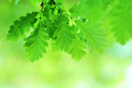 Fresh and young oak leaves in springtime photo
