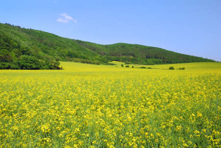 Yellow field rapeseed in bloom with blue sky