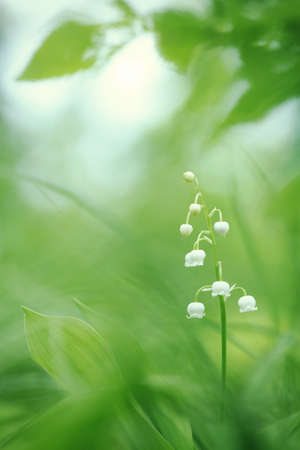 lily of the valley: Lily of the valley in springtime