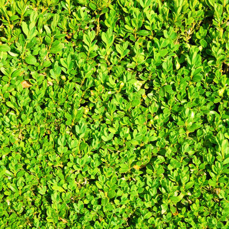 Green hedge bush texture background photo