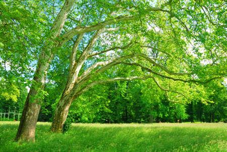 broadleaved tree: Plane trees grove in springtime Stock Photo