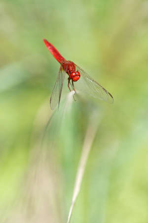 crocothemis: Scarlet Dragonfly on green background