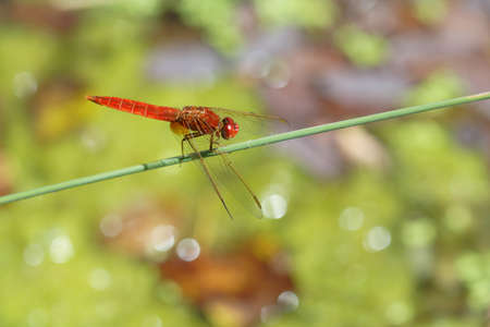 crocothemis: Scarlet Dragonfly on colorful background with lights