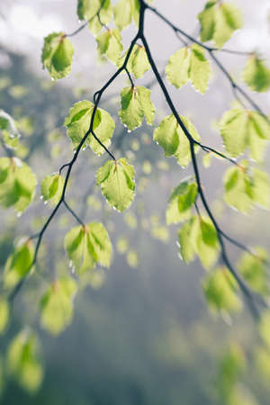 Young green leaves with water drops in springtime photo