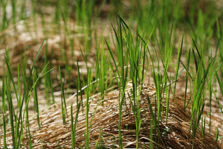 Fresh grass leaves sprouting through dry hay in springtime photo