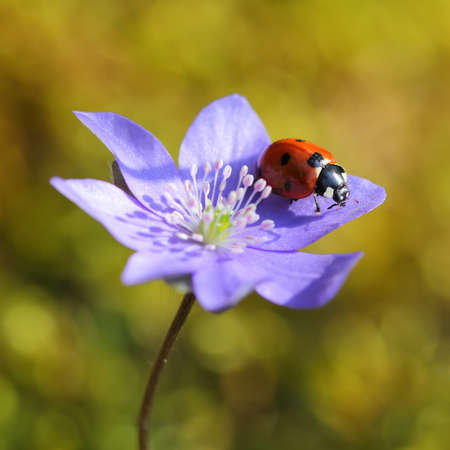 Single Ladybug on violet flower in springtime photo