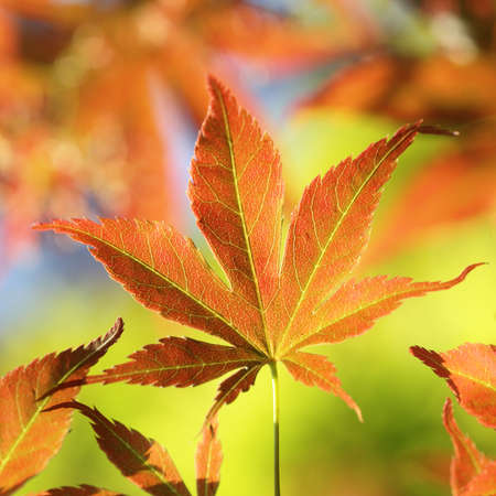 Colorful young Fullmoon Japanese, Maple leaf detail photo