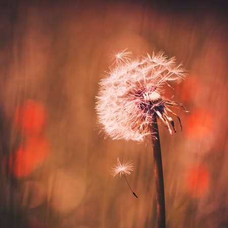 Dandelion with seed falling in the wind photo