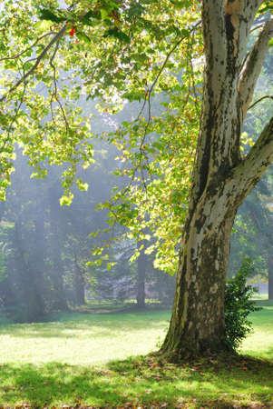 Platane et le soleil rayons verts en arrière-plan Banque d'images