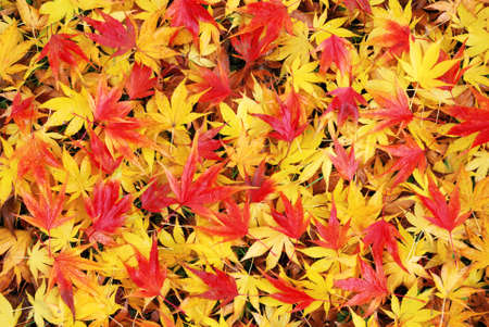 Colorful and wet fallen japanese maple leaves in autumn season Stock Photo - 23971511
