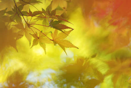 Abstract Japanese Maple Leaves Background Stock Photo - 23971512