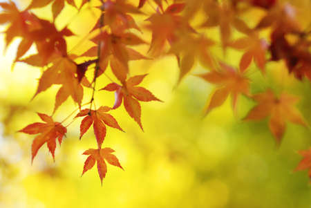 palmatum: Colorful Japanese Maple Tree Leaves Background