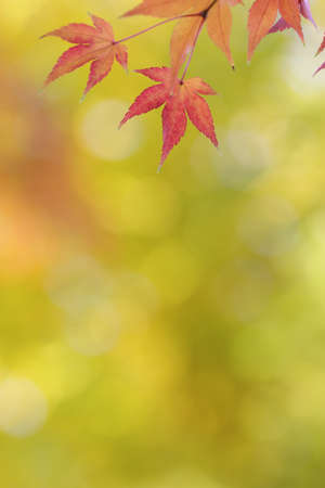 Japanese maple tree leaves colorful background in autumn photo