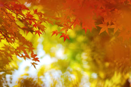 Japanese maple leaves in colorful autumn season Stock Photo - 24448512