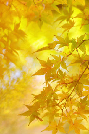 Golden leaves of japanese maple tree and abstract autumnal background Stock Photo - 24448514