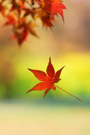 Single japanese maple leaf falling from a tree branch Stock Photo - 24448499