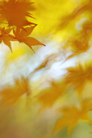 Golden leaves of japanese maple tree with interesting bokeh and abstract autumnal background Stock Photo - 24448526