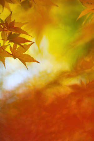 Japanese maple leaves in colorful autumn season Stock Photo - 24448532