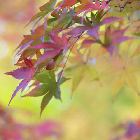Colorful leaves of japanese maple tree and abstract autumnal background Stock Photo - 24448752