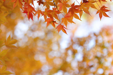 Orange leaves of japanese maple tree and abstract autumnal background photo