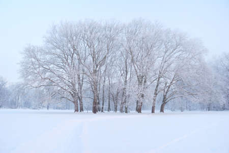 Large and tall plane trees grove in wintertime photo