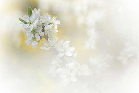 Apple tree branch in bloom in springtime